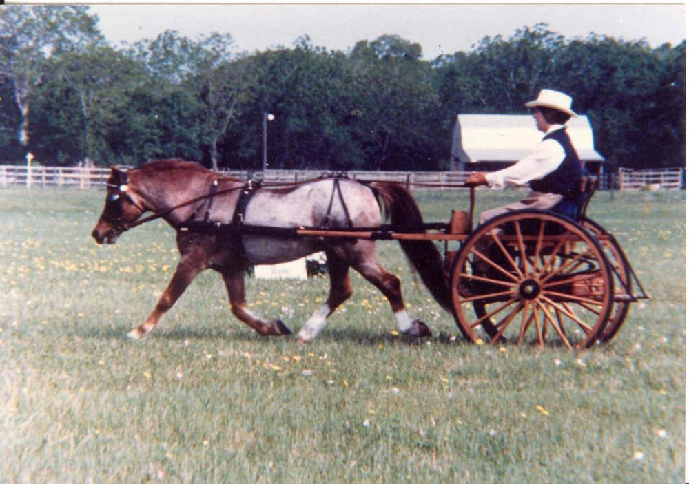 medium resolution of severn sirocco known as rocky got wilburn hooked on welsh ponies and carriage pleasure driving photo courtesy of dr ruth wilburn