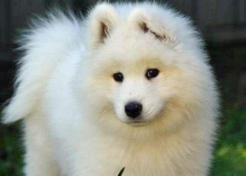 Cute Puppy Images Wallpaper Fluffy Filhote De Samoieda Comprar Pre 231 O Fotos Comprar Filhote
