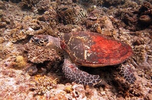 Zeeschildpad - Bacuit Bay, El Nido, Palawan, Filipijnen