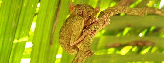 Tarsier op Bohol, Central Visayas, Filipijnen
