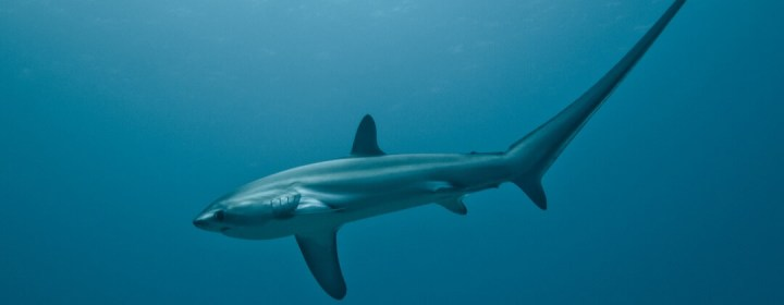 Thresher Shark (Voshaai) – Malapascua Island