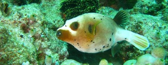 Black Spotted Puffer Fish - Apo Island, Central Visayas, Filipijnen