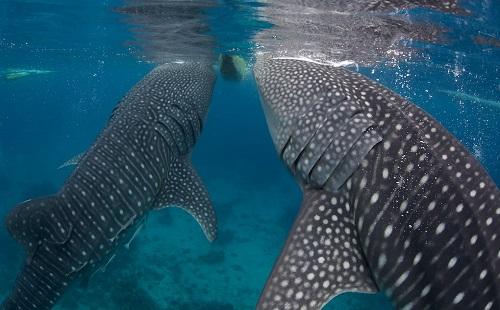 Walvishaaien - Oslob, Cebu, Filipijnen