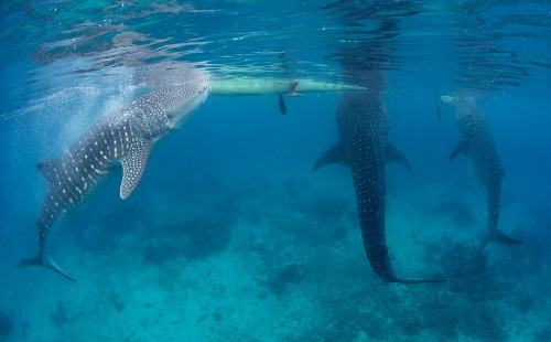 Whalesharks - Oslob, Cebu, Filipijnen
