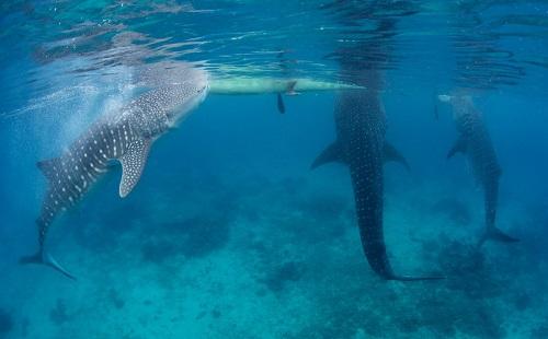 Whalesharks - Oslob, Cebu, Filipijnen