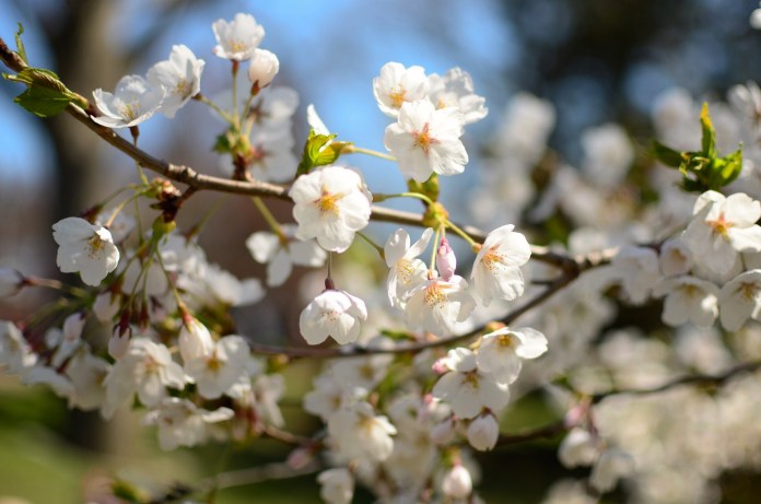 Cherry blossoms in full bloom in Toronto's High Park