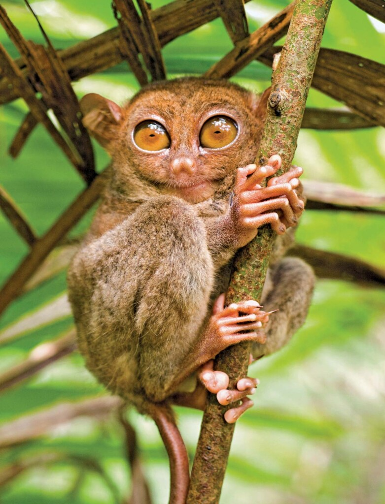 Big-Eyed Primate in Bohol