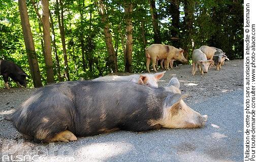 cochon corse surprise corse pour motardes