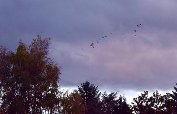 evening geese with dark clouds 11-9-14