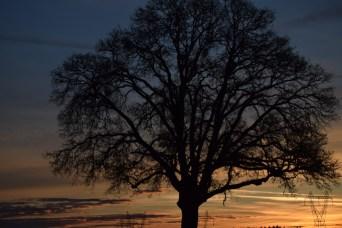 Bare oak at sunrise 1-2-15