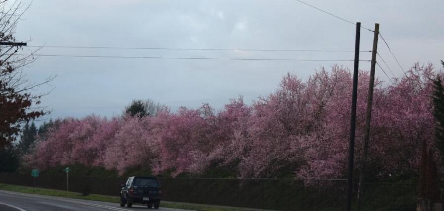Cherry trees on Minter Bridge