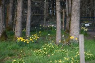 daffodils everywhere 3-6-5
