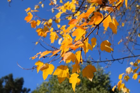 Leaves of gold 11-15-15