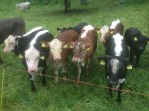 Hello cows ! :)
