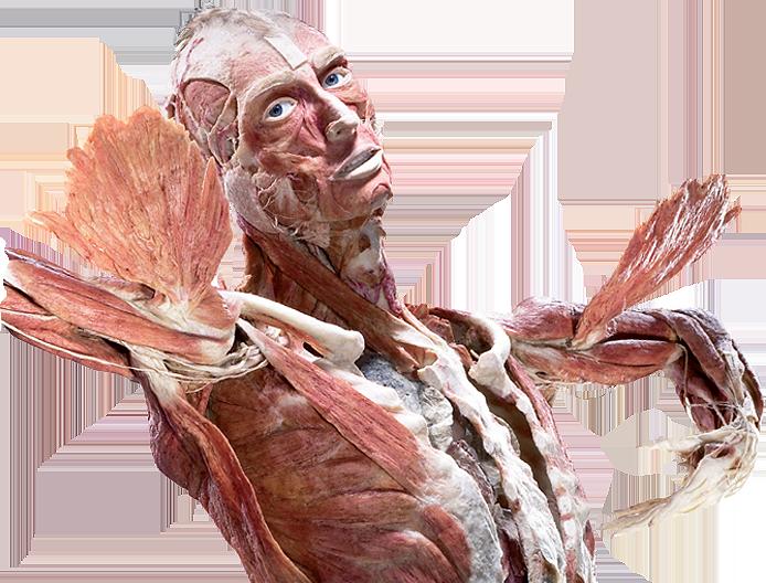 Corpo plastinado por Gunther von Hagens
