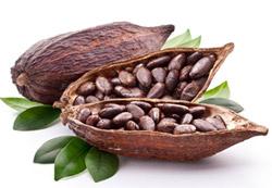 Znalezione obrazy dla zapytania kakaowiec
