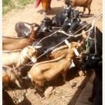 good-breed-nigerian-goat-2