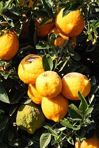 Большой цитрусовый фрукт