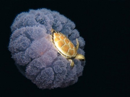 turtle_riding_on_a_jellyfish_1000_184771_original_thumb