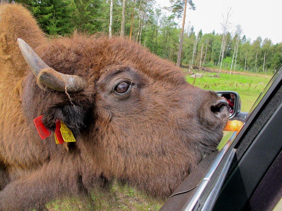 Älg & Bison Safari