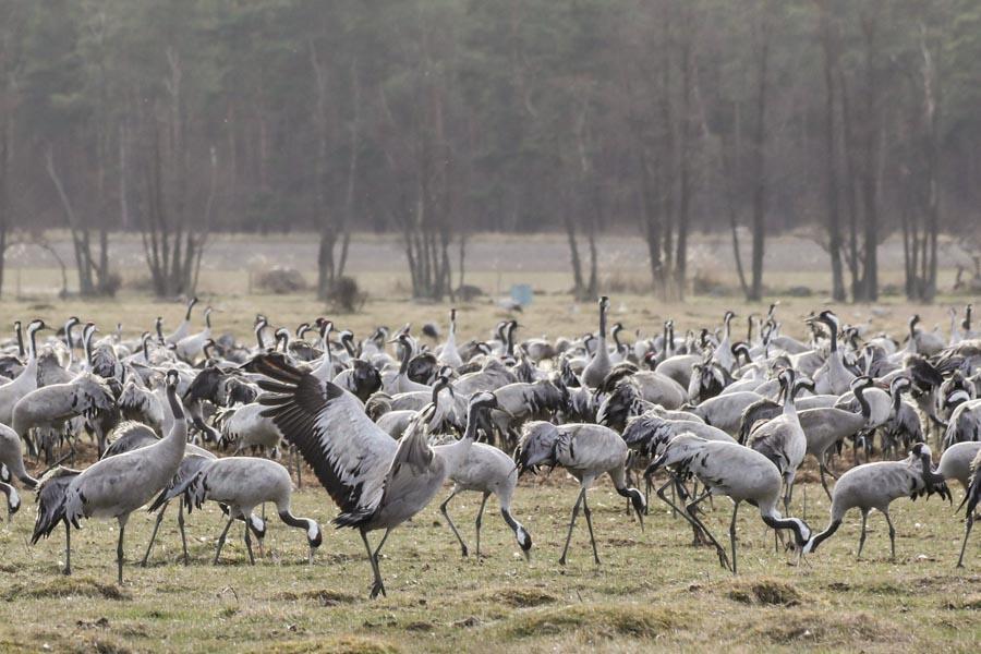 Cranes at Pulken Sweden