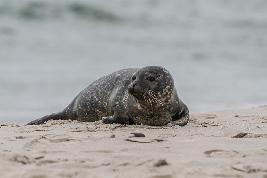 Seal at Grenen Denmark