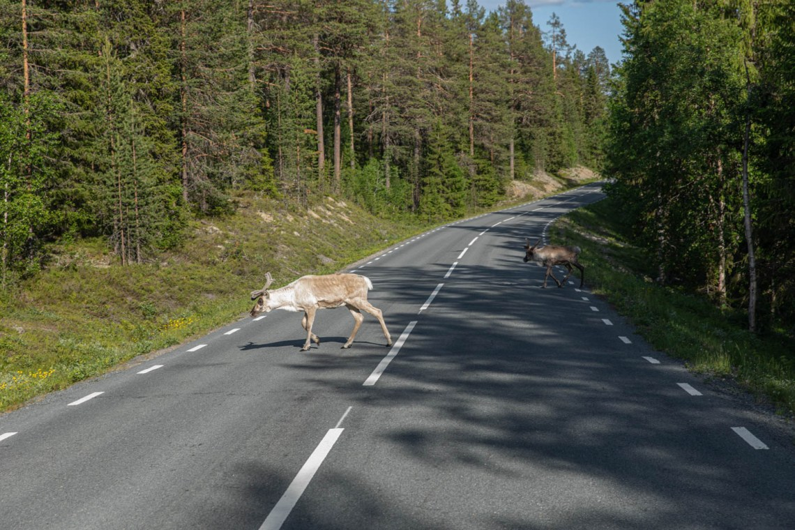 reindeer crossing the road in summer - Dalarna , Sweden