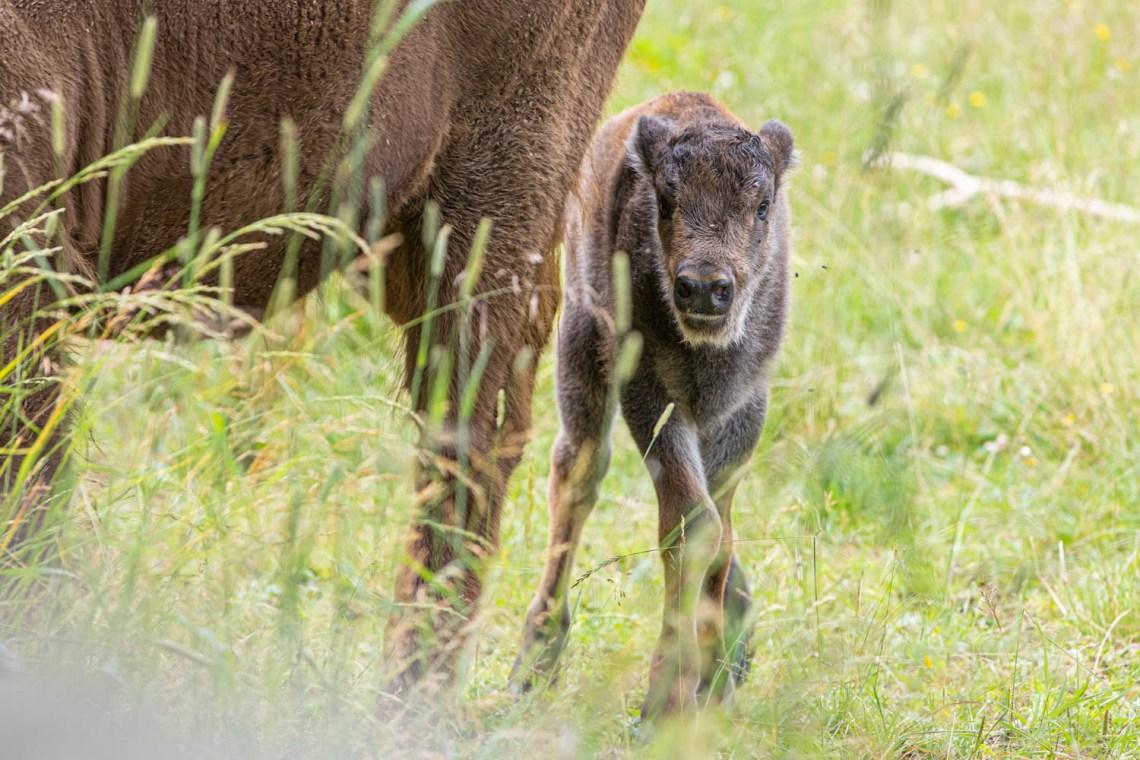 A European baby bison at Avesta visentpark.
