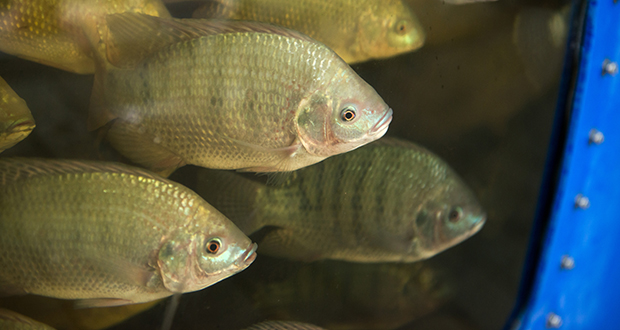 Pentair, whose U.S. office is in Golden Valley, crafted a water filtration system that allows fish farmers to reuse more water in their tanks. The technique, used at a facility in St. Paul, reduces the amount of water and space required to produce seafood. (Submitted photo: Pentair)
