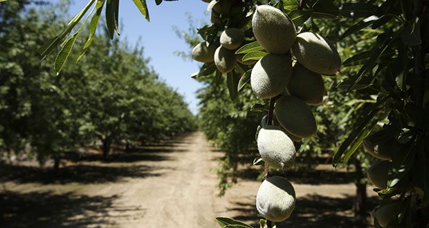Wholesale food prices ticked up 0.2% in July. In this June 21 photo, almonds hang on the branches of a tree in Modesto, California. (AP file photo)