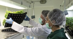 Workers inspect the underside of a tray containing cannabis clone plants Aug. 15 in the cloning room at the NYSK Holdings cannabis growing facility in Skopje, North Macedonia. (Bloomberg photo: Konstantinos Tsakalidis)
