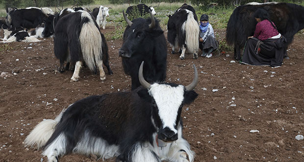 Tibetan women milk their yaks Aug. 25 in Angsai, in Qinghai province. Qinghai is a vast region in western China abutting Tibet and shares much of its cultural legacy. (AP Photo: Ng Han Guan)