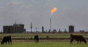 A lack of pipelines can force gas prices in the Permian Basin to occasionally go negative -- that is, producers have to pay others to take the fuel. They're increasingly resorting to burning it off, a process known as flaring. In this Aug. 31, 2019, photo, cows graze on land near a gas flare in Loving, New Mexico. (Bloomberg file photo)