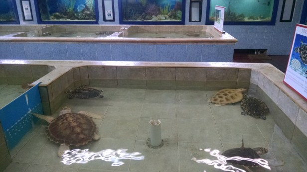 Some adolescent loggerhead turtles at the facility.
