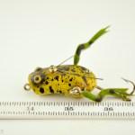 Paw Paw Weedless Wotta Frog
