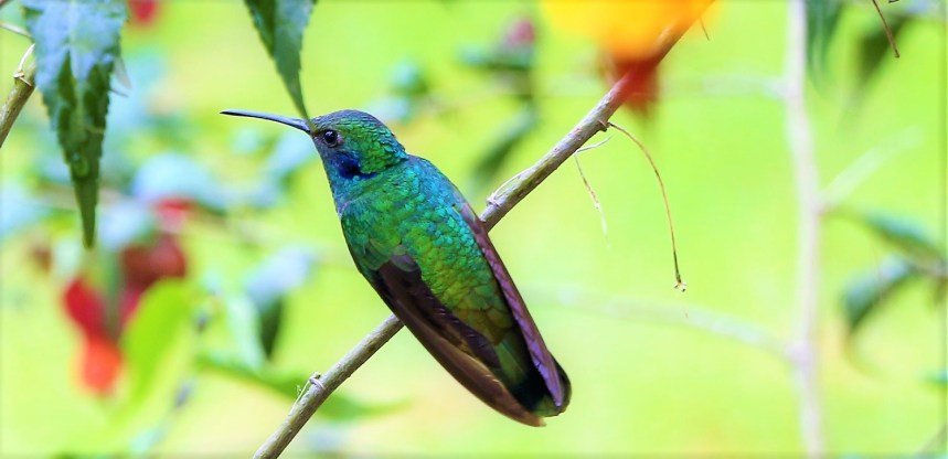 colibries-11