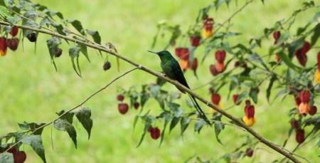 colibries-16