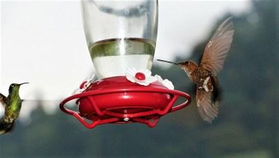 colibries-17