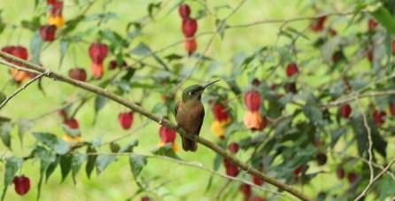 colibries-9