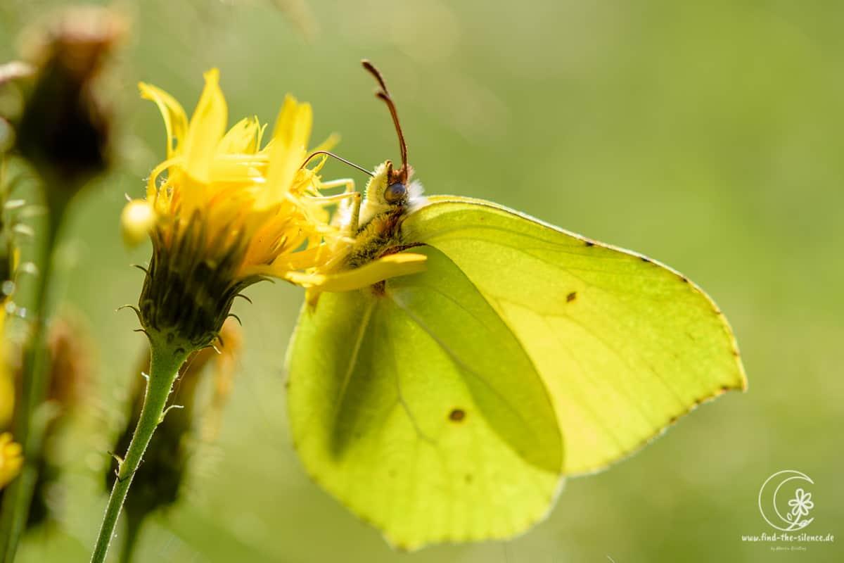 Zitronenfalter (brimstone butterfly)