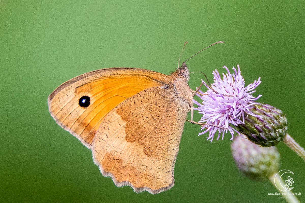 Schmetterling auf Distelblüte