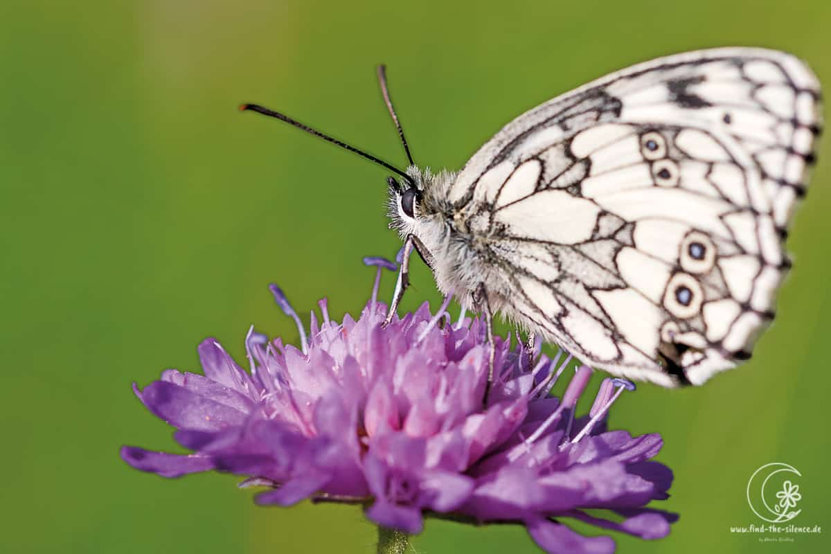 Schachbrettfalter (the marbled white)