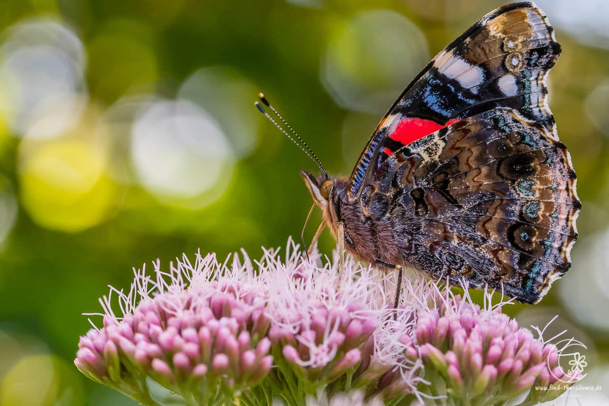 Admiral (red admiral)