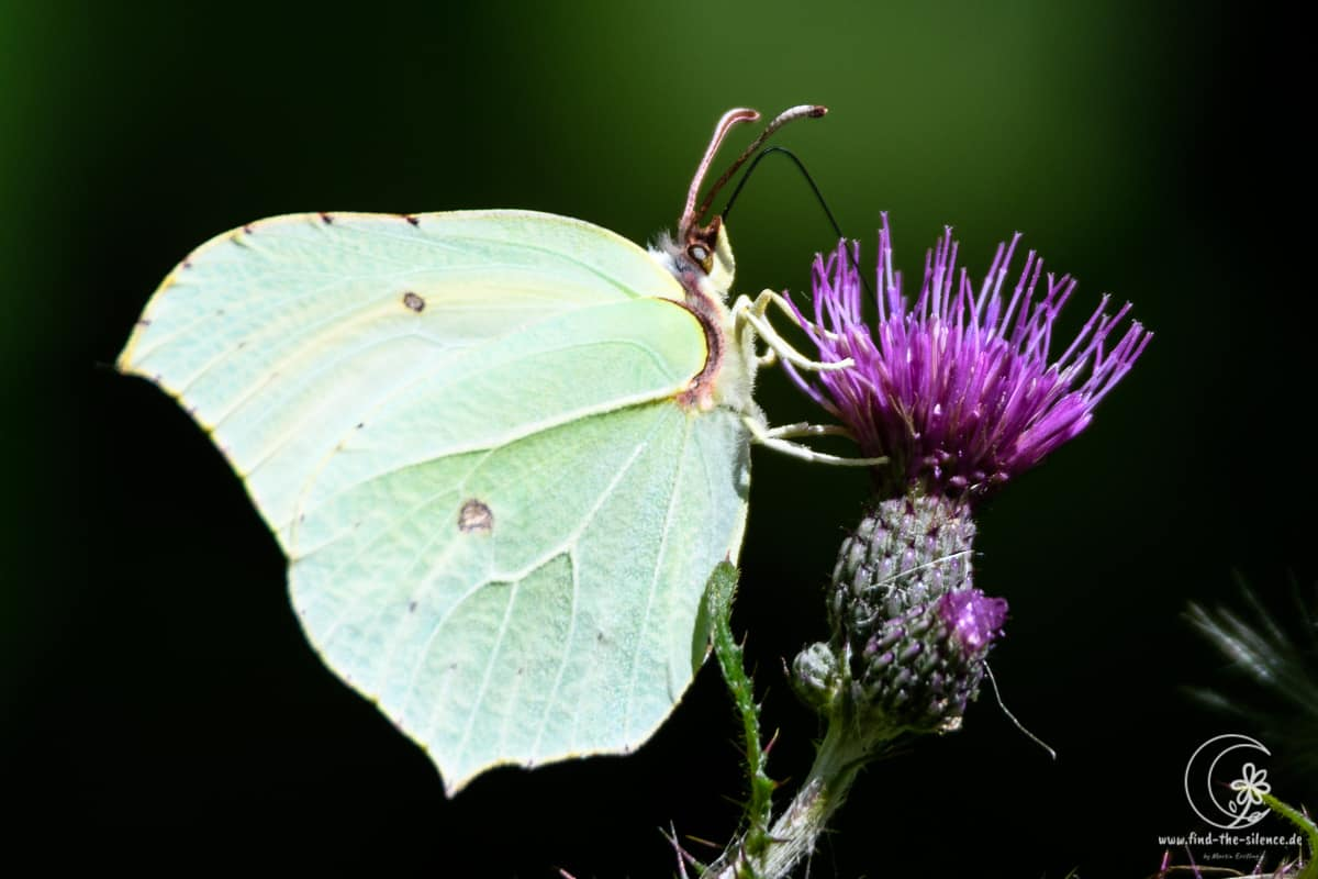 common brimstone - Zitronenfalter