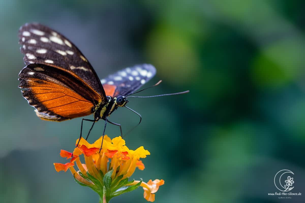 Monarch (monarch butterfly)