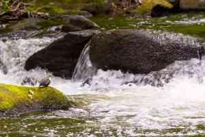 Wasseramsel im Bodetal bei Thale