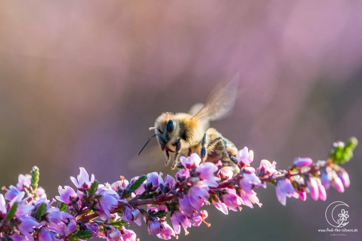 Biene an Heidekraut in der Lüneburger Heide