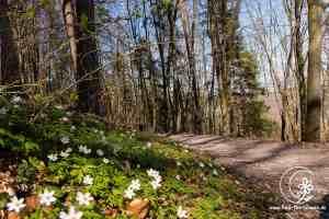 Wanderweg mit Buschwindröschen