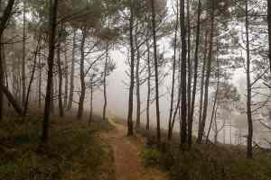 Seekiefern im Nebel