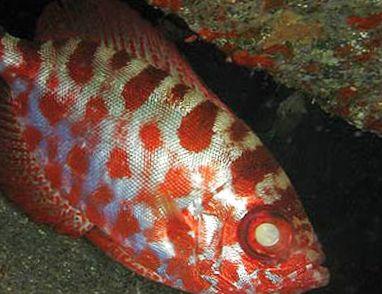 photo glass eye squirrelfish